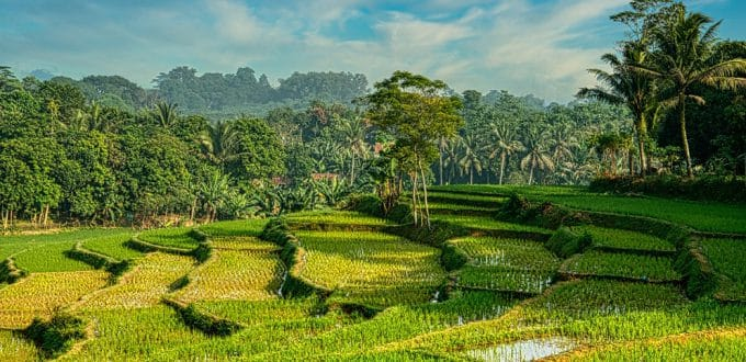 Indonesia rice fields